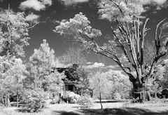 Abandoned House - Cool Tree B&W (Neal3K) Tags: sky bw sunlight abandoned clouds georgia ir blackwhite infraredcamera henrycountyga kolarivisionmodifiedcamera