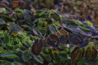 Frosted Spring Leaves IMG 7521