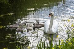 5D3_2095 (jan_schut) Tags: swan schwan zwaan