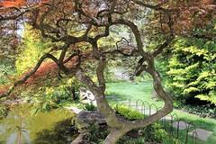 Ladew Gardens ~ Japanese Maple - HTMT & HTT! (karma (Karen)) Tags: trees texture gardens shadows fences maryland paths ponds monkton japanesemaples htt ladewtopiarygardens 4spring nrhp htmt harfordco