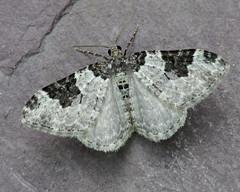 70.049 Garden Carpet - Xanthorhoe fluctuata (erdragonfly) Tags: 70049 xanthorhoefluctuata bf1728