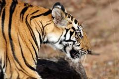 Tiger (mnrajwb (Mohan Nagarajan)) Tags: tiger pantheratigris maletiger royalbengaltiger bandavgarh roaringcats
