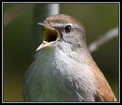 Calling Cetti's Warbler! (Carl Bovis Nature Photography) Tags: uk portrait england bird nature closeup song beak somerset elusive calling loud levels warbler rspb springwatch somersetlevels cettiswarbler hamwall carlbovisnaturephotography