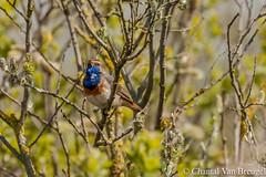 Blauwborst (Chantal van Breugel) Tags: vogels texel canon70300 blauwborst canon50d horsmeertjes