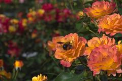 ~Next ~ Rose 26 Souvenir d'Anne Frank   (^^Teraon) Tags: park parque plant flower macro green nature rose japan canon garden eos bokeh flor rosa petal osaka m2   nakanosima tamronspaf90mmf28di   souvenirdannefrank eosm2