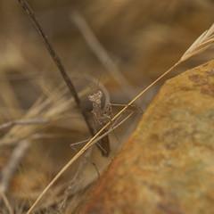 IMG_4579 (Elijah Otto) Tags: california macro mantis insect wildlife praying mantid