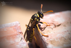 Eixint del niu ( alfanhu) Tags: macro ladrillo closeup danger insect dangerous vespa wasp nest stripes sting bite poison insecte insecto vesper avispa avispero