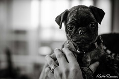 Little Riblet (A World Witnessed) Tags: dog animal puppy pug cuteness