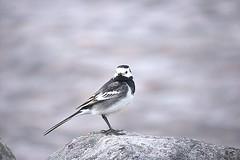 Pied Wagtail (Sybalan,) Tags: holiday birds forest canon scotland outdoor sunny coastal blueskies seashore ornithology morayshire httpsybalanphotographyweeblycom