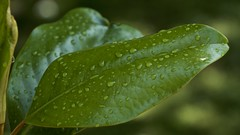 raindrops keep falling (Pejasar) Tags: rain raindrops droplets water storm tree magnolia evergreen spring tulsa oklahoma