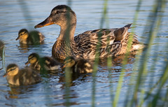Yes, I can see you Mamma! (Lisi Tejeda) Tags: nature ducks ducklings elements