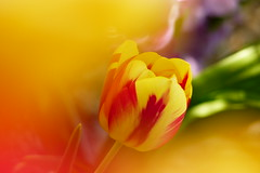 Tulip in bokeh (evisdotter) Tags: light flower macro colors spring colorful bokeh tulip blomma tulpan sooc
