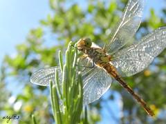 insect sardinia (urgiasdaniele) Tags: sardegna sardinia italia garden giardini libella prospettiva nikon p500 sky sun verde rosmarino pianta ali portocervo italy mygarden nikonp500