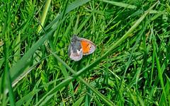 Small Heath (wightbern) Tags: macro nature closeup butterfly nikon lepidoptera isleofwight freshwaterbay d7000 nikonnaturephotography sigma105mmf28exdgoshsm