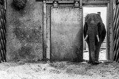 Ouwehands Zoo (Mysecrethistory) Tags: blackandwhite elephant monochrome animals canon zoo wildlife elephants animalkingdom rhenen blackandwhitephotography ouwehands zoolife ouwehandsdierenpark ouwehand canonphotography ouwehandszoo
