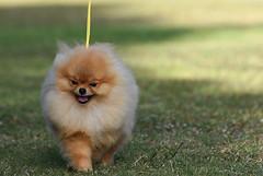 Pomeranian Puppy on the move (amirpaz) Tags: dog animal show nikon photoraphy portrait