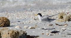 Least Tern on the Shore (dbking2162) Tags: shells bird beach nature birds animal florida fort wildlife tern myers