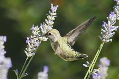 Annas Hummingbird (Calypte anna) (uncle.dee9600) Tags: bird nikon hummingbird telephoto annashummingbird calypteanna nikond7200