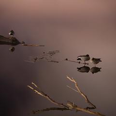 Australian Wood Ducks (Chenonetta jubata) Roosting on Lake Burley Griffin - Kingston - ACT - 20160617 @ 05:02 (MomentsForZen) Tags: roosting reflections water lake chenonettajubata australianwoodducks ducks birds darkness dark night square lightroom hasselblad500cmcfv50c hasselblad momentsforzen kingston australiancapitalterritory australia au