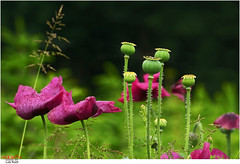 Poppy (Lutz Koch) Tags: pink plant flower green wet rain fruit purple pflanze lila explore poppy blume frucht taunus regen nass pavot mohn idstein amapola papavero papoula mohnblume vallmo schlafmohn mk explored  inexplore graumohn idsteinerland elkaypics niederseelbach  lutzkoch