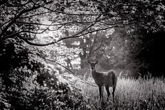 Whitetail Morning (GLASman1) Tags: morning deer d750 handheld whitetail fromthetruck