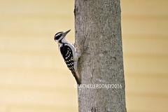 IMG_4625eFB (Kiwibrit - *Michelle*) Tags: tree grass birds woodpecker squirrel maine feeder chipmunk monmouth 2016 061916