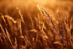Zum Picknick in der Sommerwiese besser einen Feuerlscher mitnehmen. (Manuela Salzinger) Tags: summer evening abend sonnenuntergang sundown sommer meadow wiese heat hitze