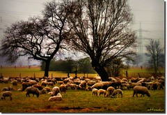 Schp (ottosohn) Tags: nature germany landscape sheep meadow herd schafe fressen flockofsheep grasen bleating schafsherde mhen rumelnkaldenhausen aubruchsgraben trynka blken ottosohn mygearandme mygearandmepremium mygearandmebronze mygearandmesilver mygearandmegold mygearandmeplatinum mygearandmediamond rememberthatmomentlevel1 rememberthatmomentlevel2