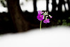 February Snow (GLIDEi7) Tags: white snow flower japan tokyo purple sony 日本 東京 february 花 雪 nex α 2月 白 紫 ソニー sel1855 e1855mmf3556 nex5n
