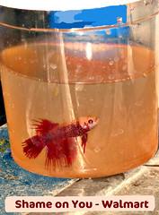 The Genetics Of Betta Fish Tail Types My Aquarium Club