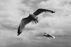 The View From Here (ryand1975) Tags: blackandwhite seagulls monochrome birds nikon wildlife d5100