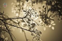 Golden Glow (R E B E L ™®) Tags: world birthday city wallpaper india black green home water canon project photography rebel blackwhite team bokeh sunday bangalore © explore international 5d wallpapers hyderabad 2012 mws cfc skfotography sandeepmv ©skfotography 121clicks 08884922253