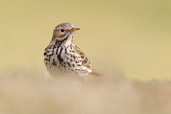 Pipit Bokeh 3 (Andrew Haynes Wildlife Images) Tags: bird nature bokeh warwickshire draycote pipit meadowpipit ajh2008