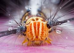 Hairy (and wet) caterpillar........IMG_0802 copy (Kurt (OrionHerpAdventure.com)) Tags: hairy wet water caterpillar raindrop dewy