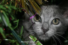 Cat in Christmas Tree. (Canon-Kid) Tags: christmas tree cat
