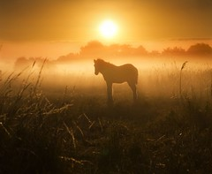 Little Foal (adrians_art) Tags: trees horses mist fog sunrise shadows young silhouettes grasses equine foal