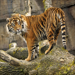 Aryo, the Tiger King (Foto Martien) Tags: man holland male netherlands dutch cat sumatra indonesia zoo kat sony tiger arnhem nederland bigcat burgers sumatrantiger wildcat tijger veluwe indonesi burgerszoo a77 dierentuin gelderland dierenpark mannetje rimba mannelijk aryo sumatratiger thegalaxy pantheratigrissumatrae burgersdierenpark bedreigdediersoort tigredesumatra martienuiterweerd bestcapturesaoi sumatraansetijgers martienarnhem mygearandme mygearandmepremium mygearandmebronze mygearandmesilver mygearandmegold mygearandmeplatinum mygearandmediamond dblringexcellence fotomartien tplringexcellence sony70400mmf456gssm eltringexcellence sonyslta77v sonyalpha77 rememberthatmomentlevel4 geotaggedwithgps rememberthatmomentlevel1 rememberthatmomentlevel2 rememberthatmomentlevel3 rememberthatmomentlevel7 endangeredanimalspecies rememberthatmomentlevel5 rememberthatmomentlevel6 rememberthatmomentlevel8