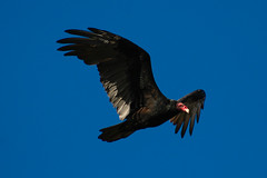 Soaring Turkey Vulture (sagesolar) Tags: turkey wings vulture wingspan soar