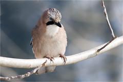 GHIANDAIA - Garrulus Jay (ric.artur) Tags: bird nature nikon natura ali uccelli piemonte animali naturalmente lipu volatili naturae ghiandaia naturaee