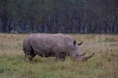 White Rhinocerous (robsall) Tags: africa nature animal animals mammal kenya wildlife rhino nakuru riftvalley whiterhino eastafrica whiterhinoceros lakenakuru ceratotheriumsimum wildlifephotography grassrhinoceros robsall grassrhino