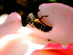 PTDC0128 (Maggie Mbroh, joeyjorie) Tags: flowers roses flower petals bees petal pollen signsofspring signofspring beesandpollen beesandroses rosesandbees antiquarose luckyladyrose nightanddayrose greatshowrose beeandroses