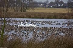 Smient/Eurasian Wigeon (MartinGJ56) Tags: birds utrecht nederland vogels wigeon polsbroekerdam smietn willeskoppolsbroekerdamutrechtnederlandned