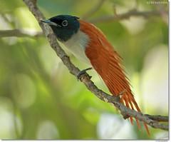 Asian Paradise flycatcher (Gurusan2010) Tags: tenkasi terpsiphoneparadisi