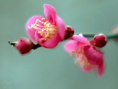 Plum flowers (Marie Eve K.A. (Away)) Tags: pink winter red flower macro tree nature japan closeup spring kyoto teaceremony annual plumtree nodate plumflower plumblossoms baikasai feb25 kitanotenmangushrine february25th outdoorteaparty plumblossomsfestival plumflowersfestival