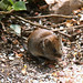 Bank Vole NottsWT (cpt Jim Beattie)