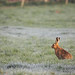 Brown Hare (Lepus europaeus) In frosty Field Notts WT
