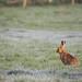 Brown Hare (Lepus europaeus) In frosty Field Notts WT