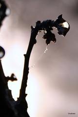 Momentos com drops (tinalves My Eyes) Tags: drops teias gotasdeorvalho