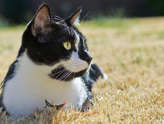 Snickers in the grass (loco's photos) Tags: white black male cat pentax tuxedo snickers kr domesticshorthair da5514 friendsofzeusphoebe