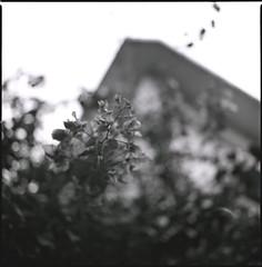 (ari@098) Tags: blackandwhite flower monochrome mediumformat square kodak d76 hasselblad 120mm carlzeiss 66 selfdevelopment 100tmx planart